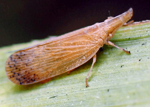 sugarcane insects pyrilla